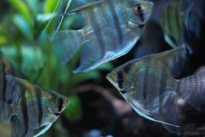 Silver Freshwater AngelFish