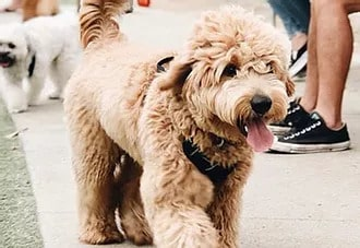 A Goldendoodle Puppy from California