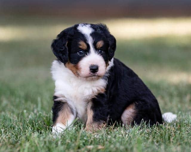 tri-color-bernedoodle-puppy